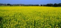 Bikash Kalita-Mustard plant